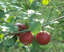 Apple Picker's Paradise
