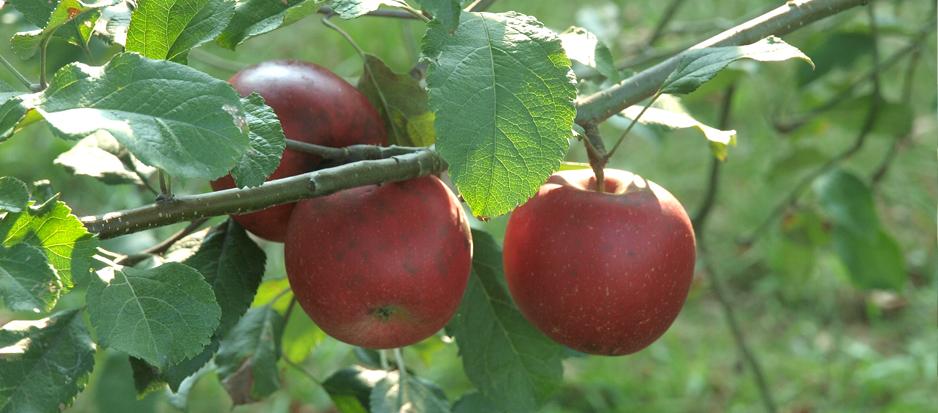 Apple Picker's Paradise